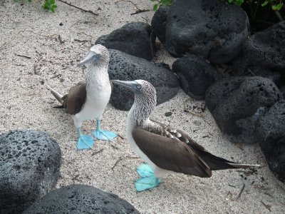 Courting blue footed boobies