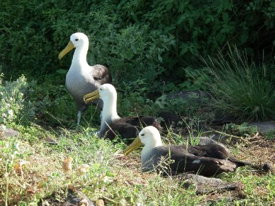 Courting albatrosses, someone's being a third wheel
