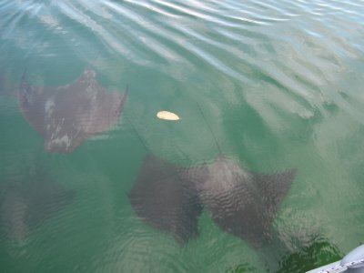 A group of rays swam under the dingy