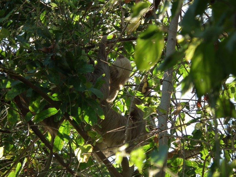 Mummy and baby sloth!