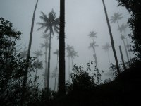 The palms in the mist