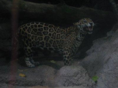 Jaguar smiling