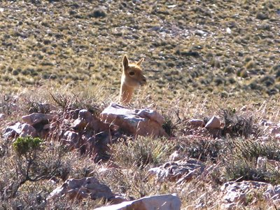 Hello...I'm a vicuna.  Not to be confused with a llama or an alpaca.