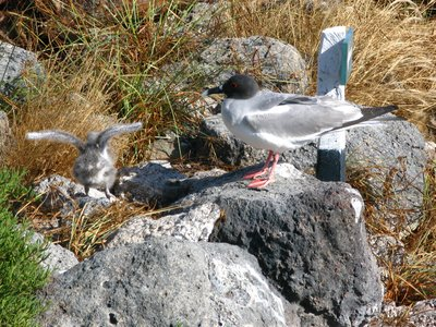 Swallow tailed gull and chick
