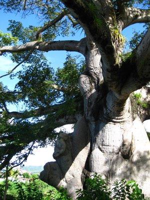 Tree that survived eruption