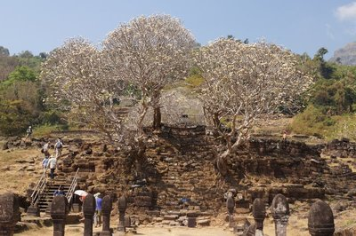 Steps and Frangipani Trees