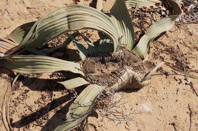 Welwitschia Female