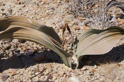 Welwitschia Male