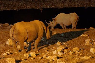 and Black Rhinos