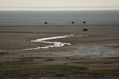 Ostrich on the Salt Pan