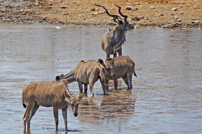 Kudu at a Waterhole