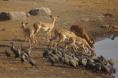 and Black-Faced Impala and Guineafowl