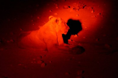 Lions at the Waterhole at Night