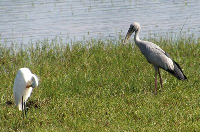 Asian Openbill and Egret