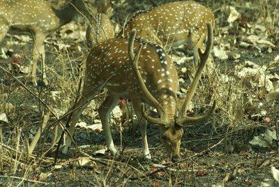Cheetal