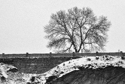 Kelly White Tree