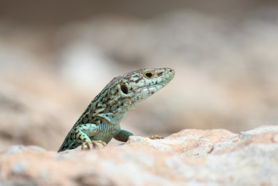 Little lizzards are everywhere, basking in the scorching hot weather