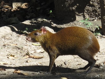 """Thank-you to all those who told us our """"bunny-rat"""" was an Agouti, we knew him this time when he scurried near us."""