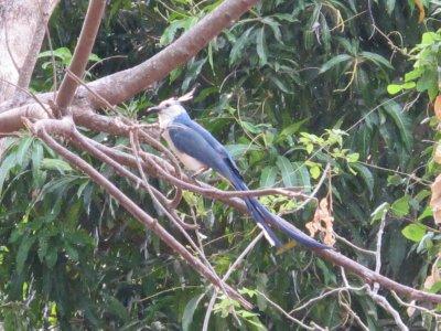 The national bird of Nicaragua