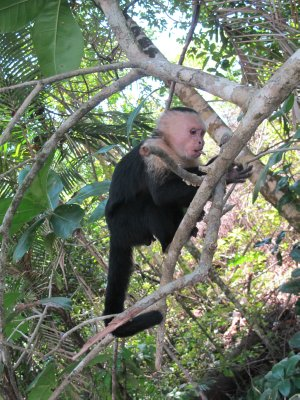 The capuchin and his little tongue