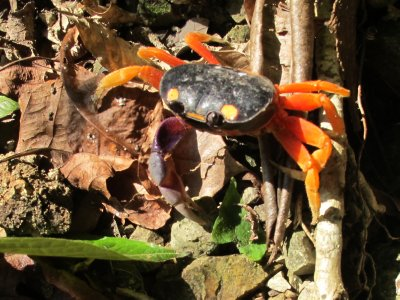 Red crabs with big purple pincers and live in the jungle