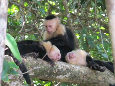 Three capuchins grooming each other