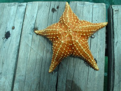 Large starfish