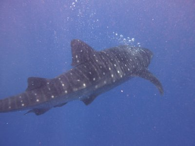 The incredible Whale Shark -what a rare and breathtaking experience!