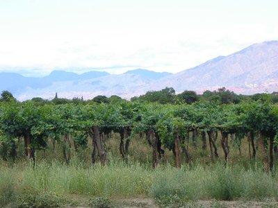 Vineyard - Cafayate