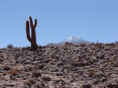 Cactus and snowcapped volcano - Atacama
