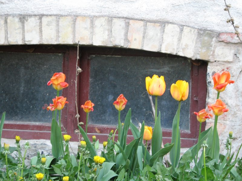 Tulips and window