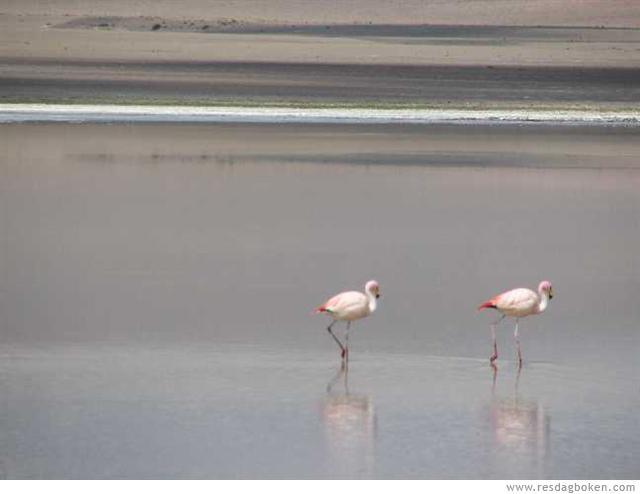 Flamingos - Salar de Uyuni