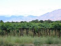 Vineyard - Cafayate