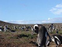 Penguins - Punta Arenas