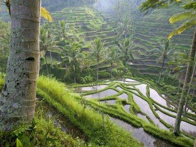 Terraced Rice Paddies, Ubud Area, Bali, Indonesia