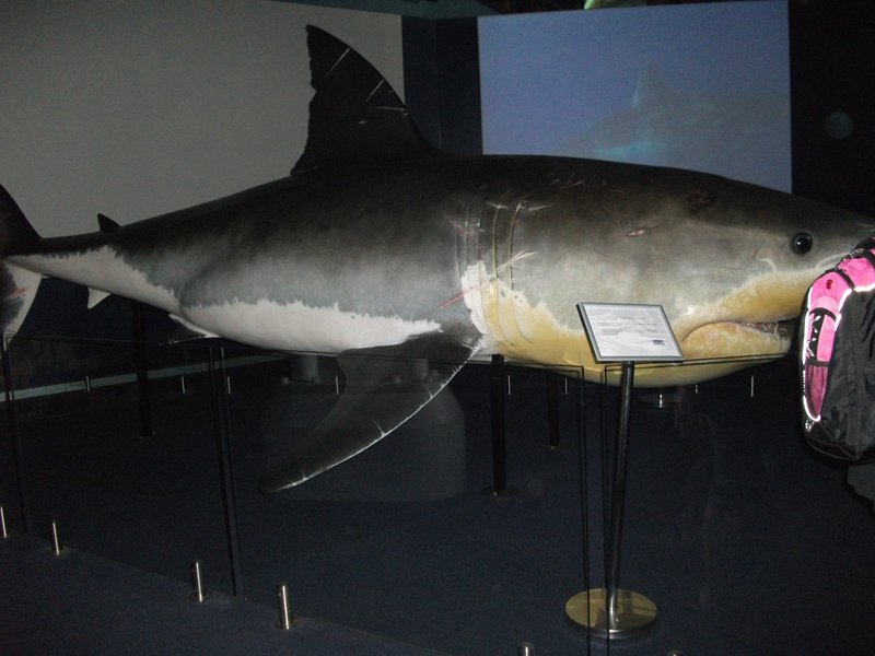 Our first great white shark
