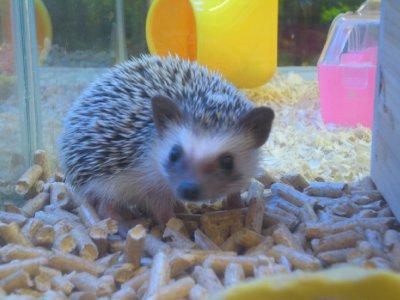 my beloved hedgehog!!
