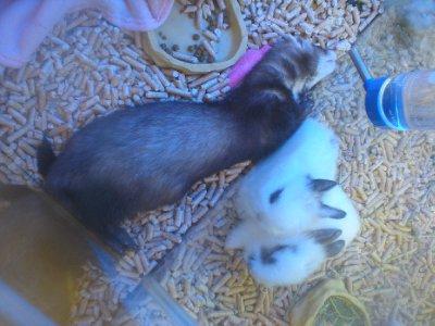 ferret snoozing alongside the dwarf bunnies