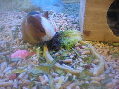 Teeny guinea pig