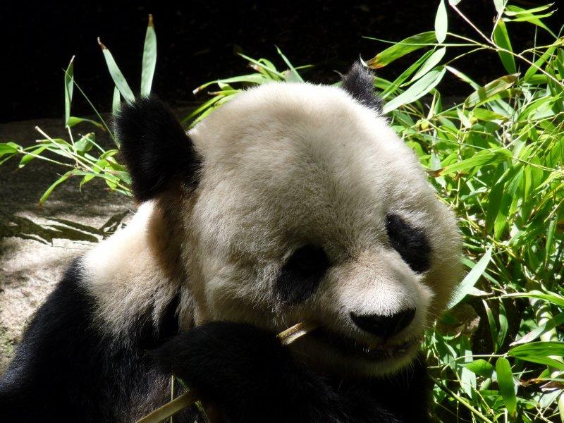 Panda close-up