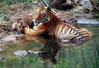 Tigress with cubs