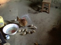 chickens kept in the room next to the kitchen
