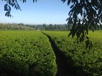 a small plantation is still a lot of work, harvesting the tea weekly