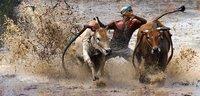 Hia Hiaaaaa....  ( Pacu Jawi - Racing Cow )