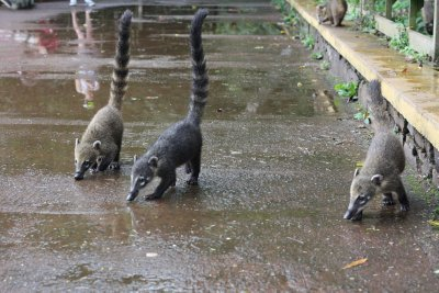 South American Coatis..very cute, but very hungry!