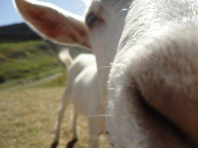 Goat buisness