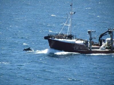 Dolfijn voor de boeg