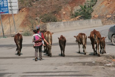 Herding Cattle Through the Service Station