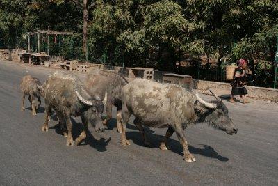 Buffalo on the Move