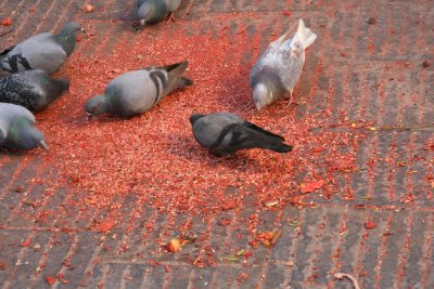 Pigeons Feeding on Coloured Grain